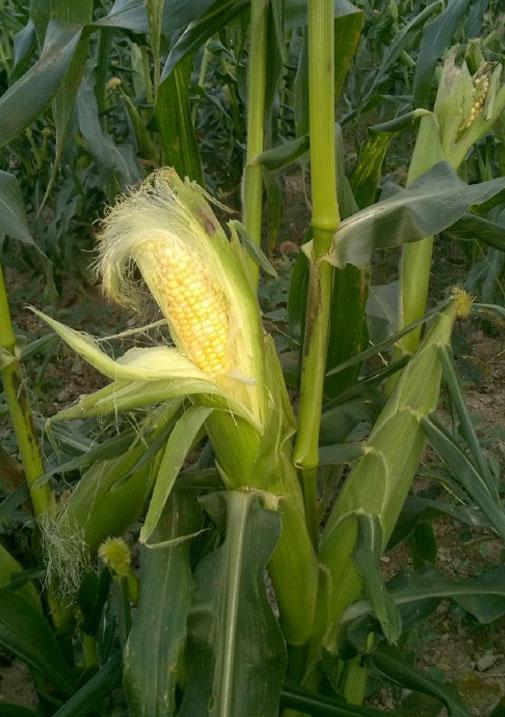 corn-717h